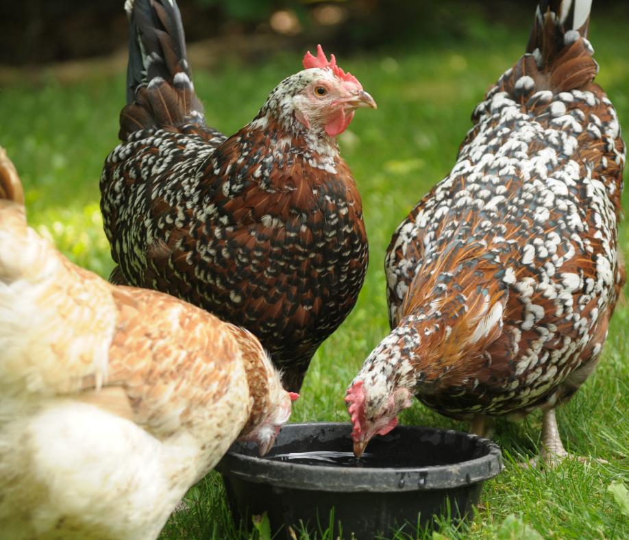 Best Chicken Breeds for Beginners