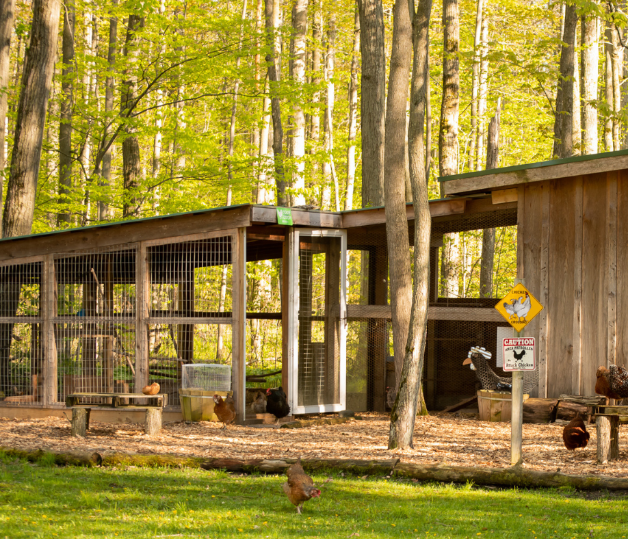 Building the Perfect Chicken Coop