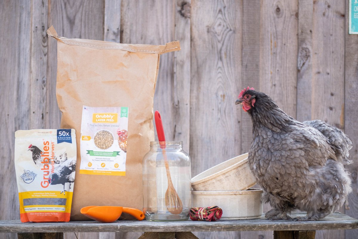 chicken on a table next to the supplies needed to ferment chicken feed