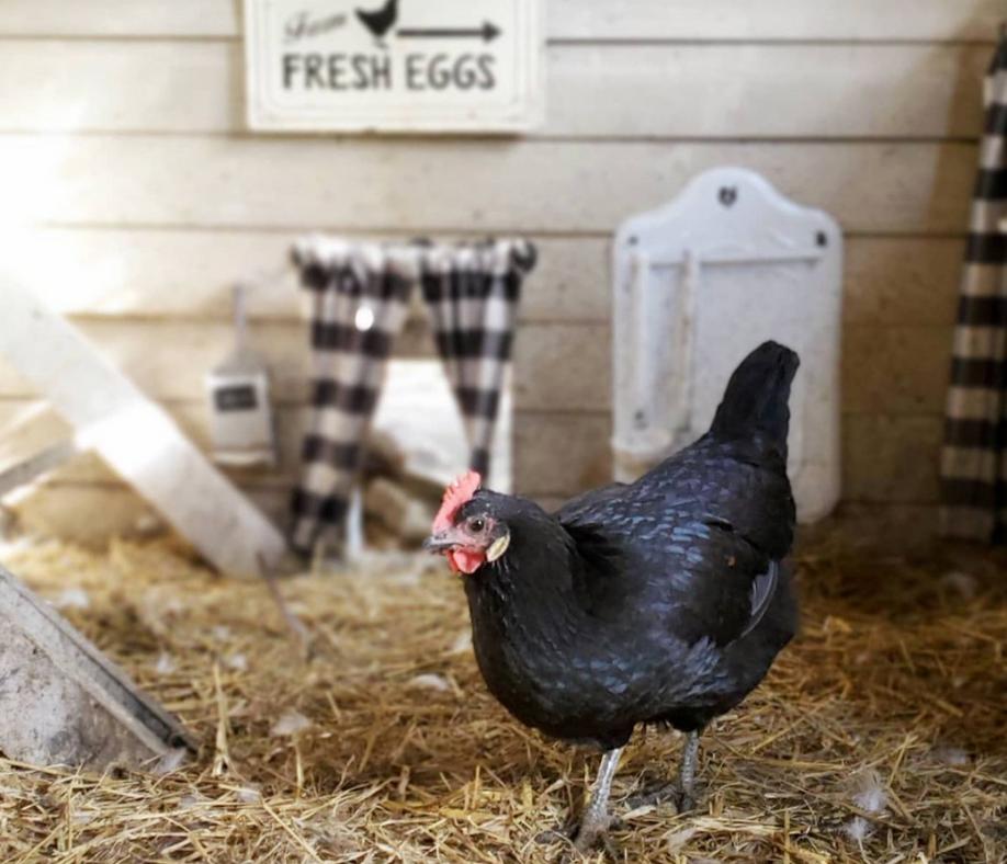 20+ Practical Gifts for Your Backyard Flock