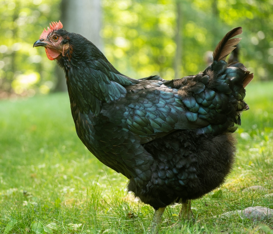 How to Raise Chickens: 7 Essential Components