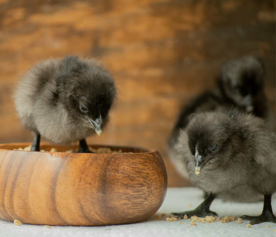 5 Tips for Feeding Chicks and Pullets