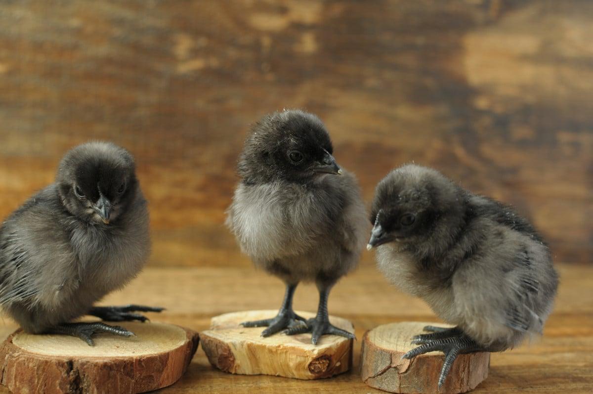 three baby chicks sitting on small tree stumps
