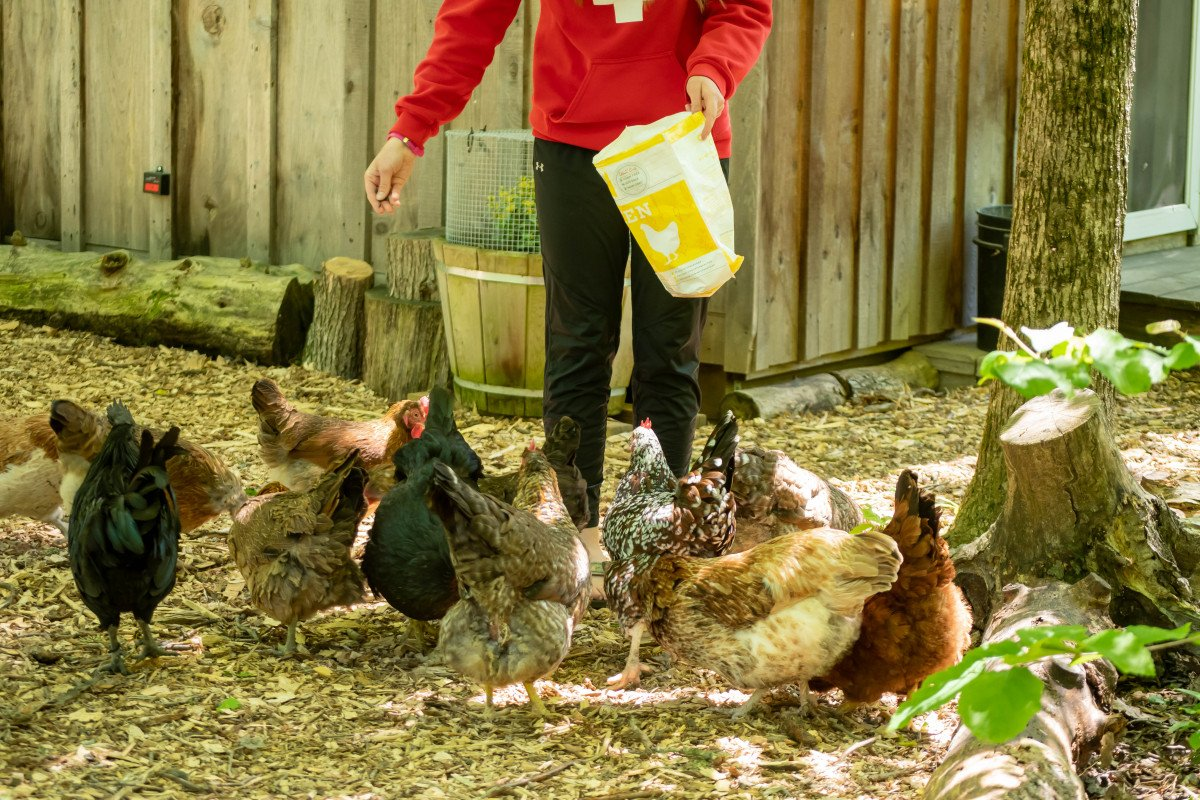Owner feeding a flock of chickens