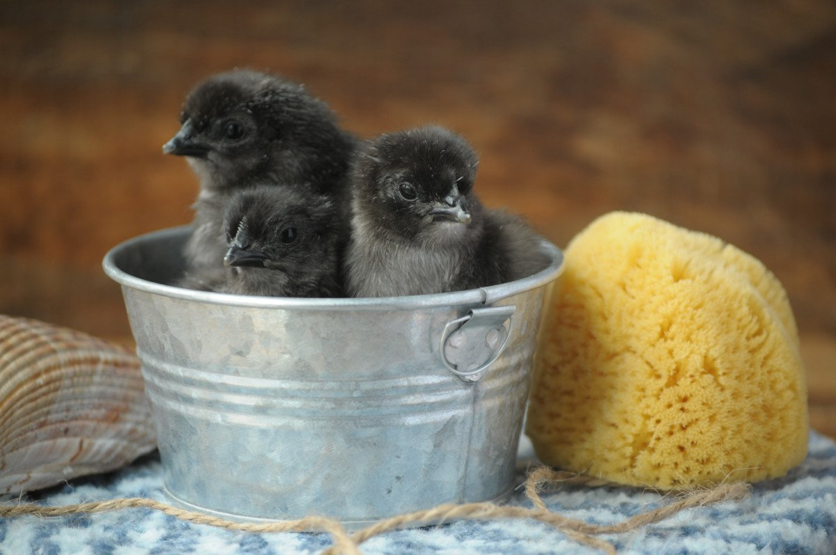 three black baby chicks in a tin container