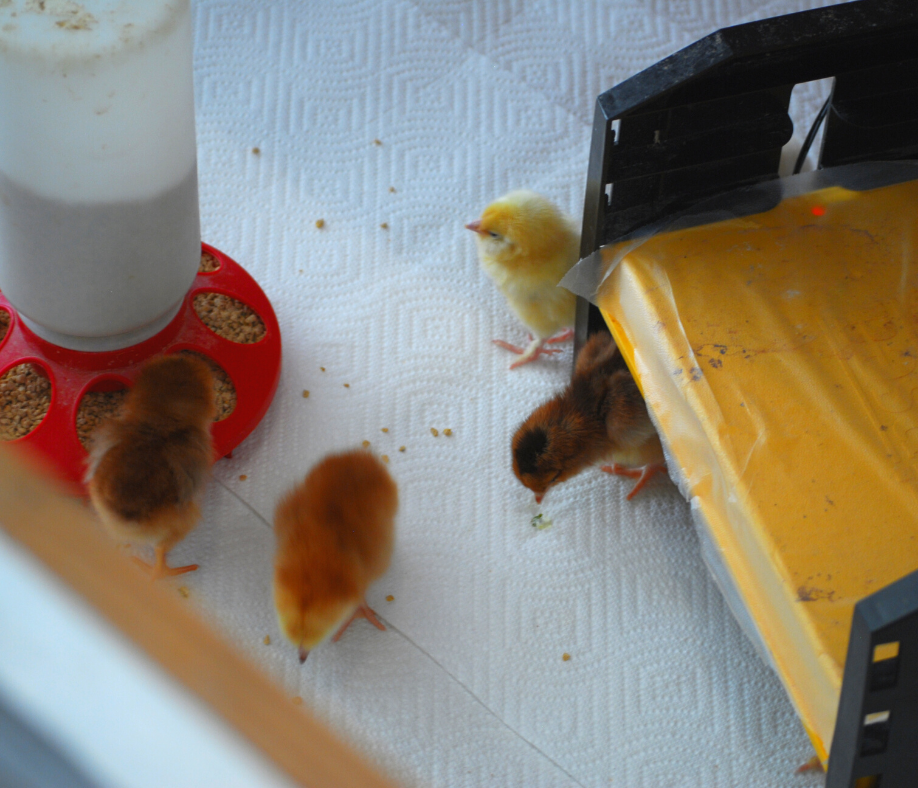 chicks in the brooder with a heat source