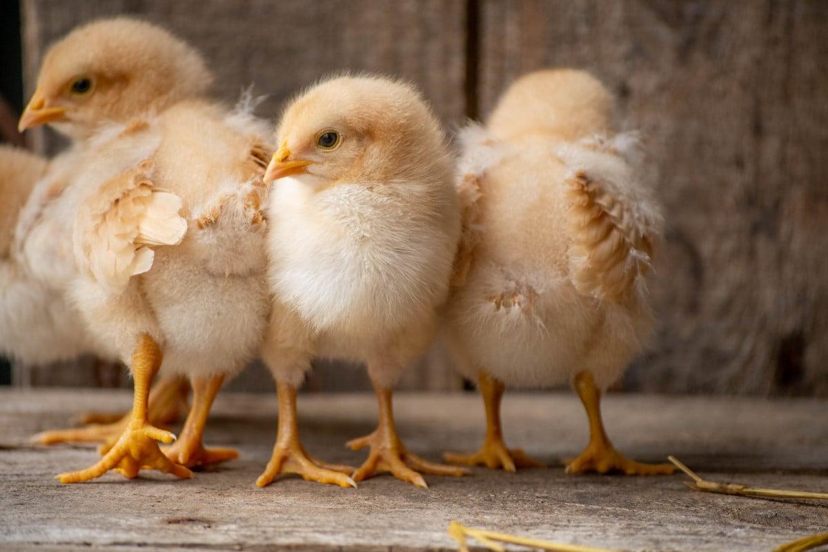 three light yellow baby chicks standing close together