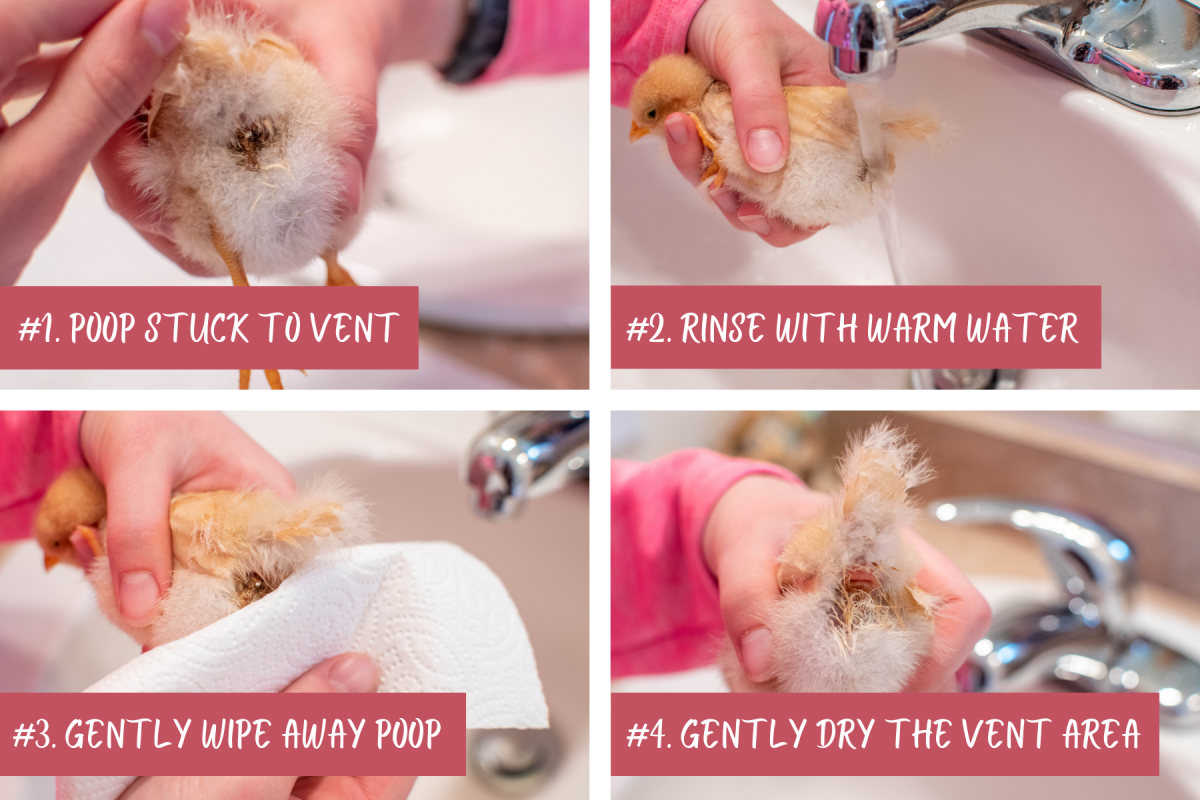 step by step infographic with instructions for how to treat pasty butt in chicks