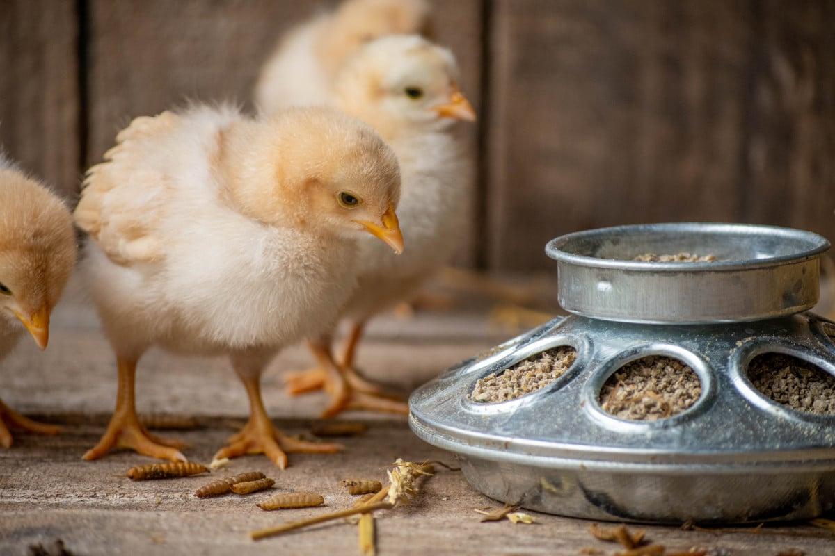 chick next to feeder
