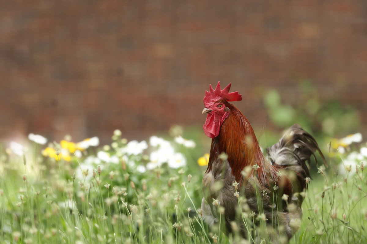 rooster in a field of tall grass and flowers