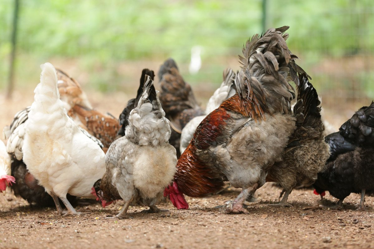 group of chickens gathered around eating
