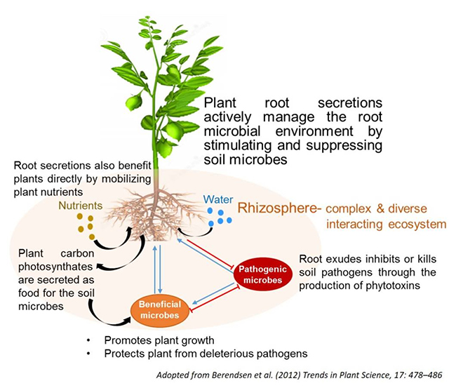 This diagram from Trends in Plant Science shows how plant root secretions interact with soil microbiology.