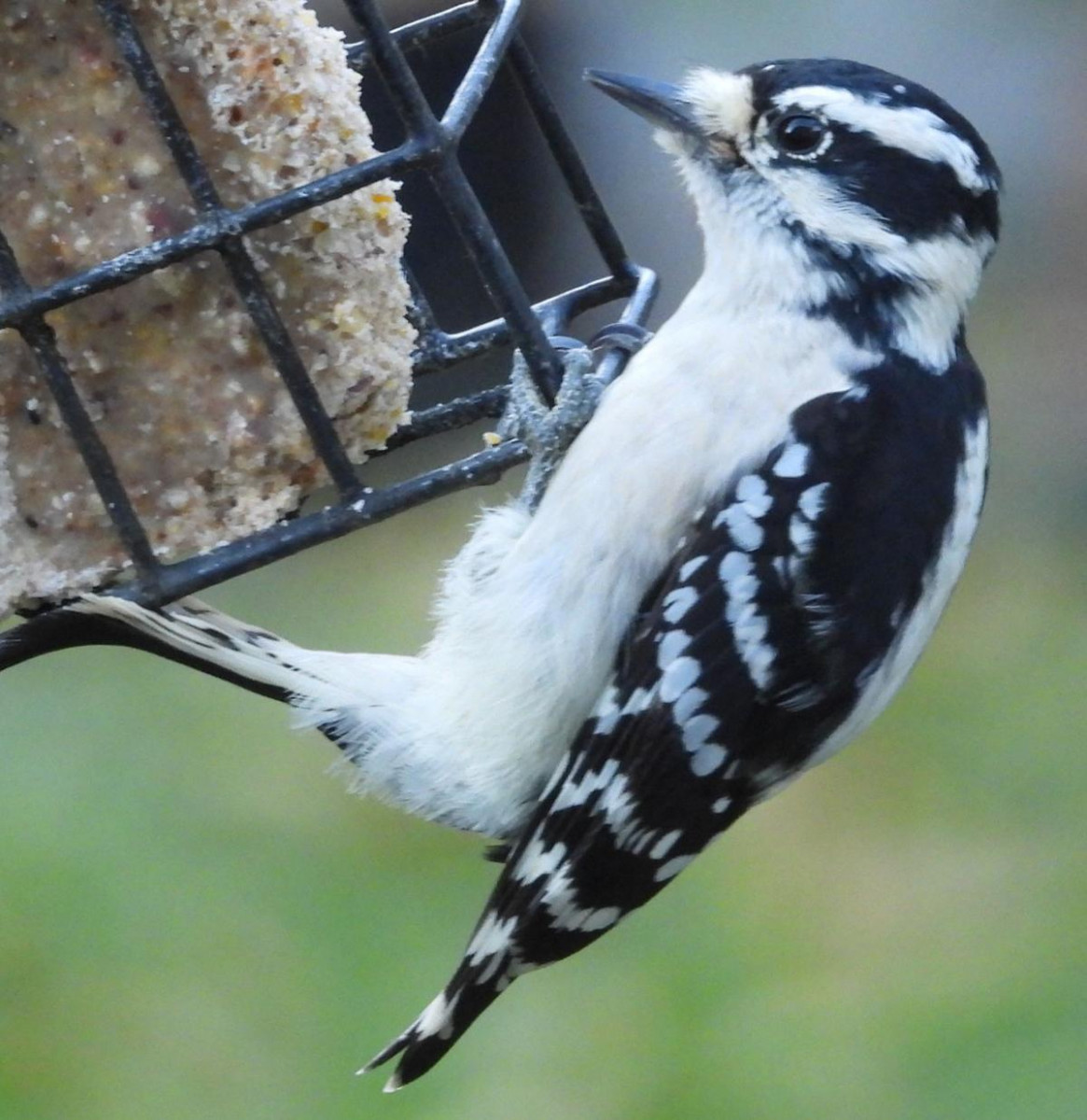 This is a female downy woodpecker hanging on a wire cage suet block feeder. Stiff tail feathers and zygodactyl feet on display.