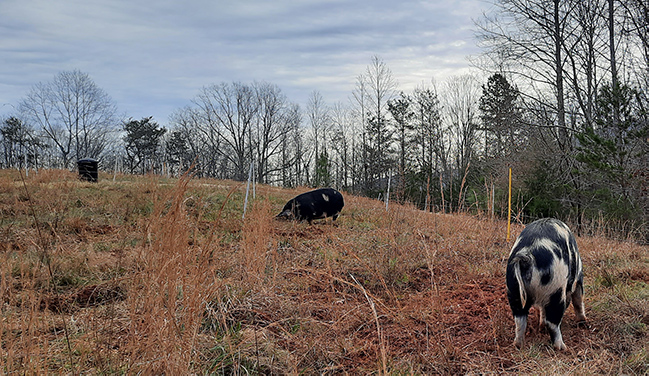 The hogs Tubby and Wubby grazing and rooting on the high hill in winter.