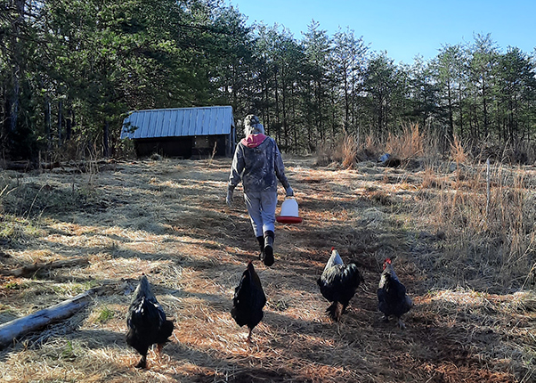 The roosters following Michele, bringer of food once, maybe twice daily.