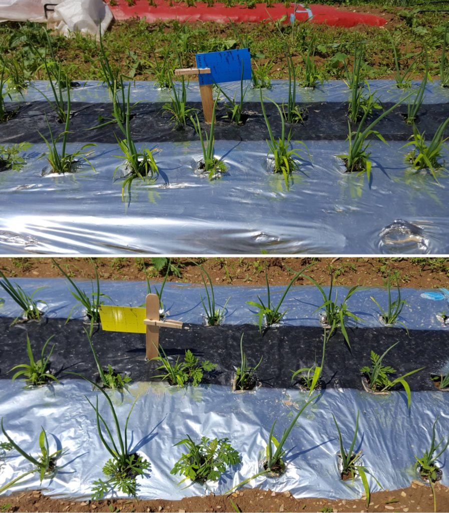 Image of alliums planted under plastic from the Rodale research fields.