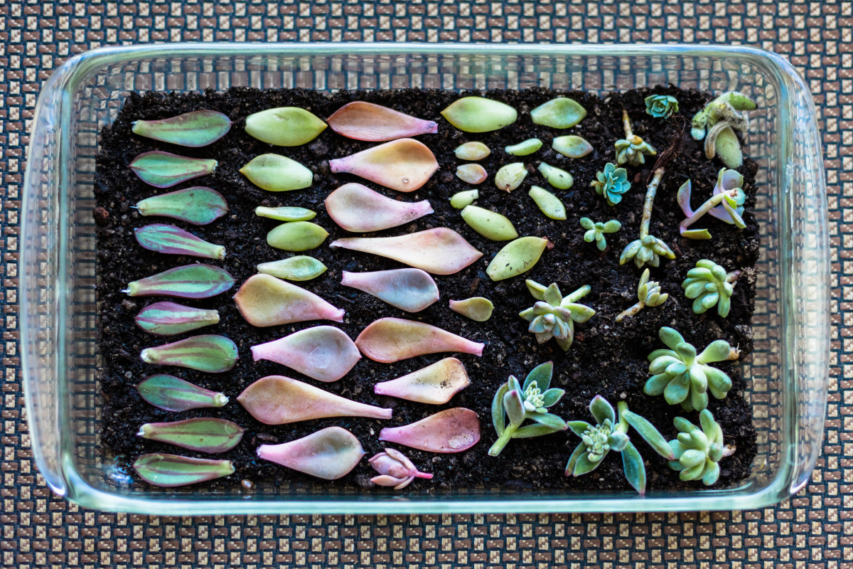 a tray of colourful succulent leaf propagations