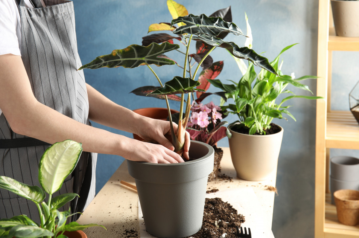 a person re-potting an alocasia polly house plant