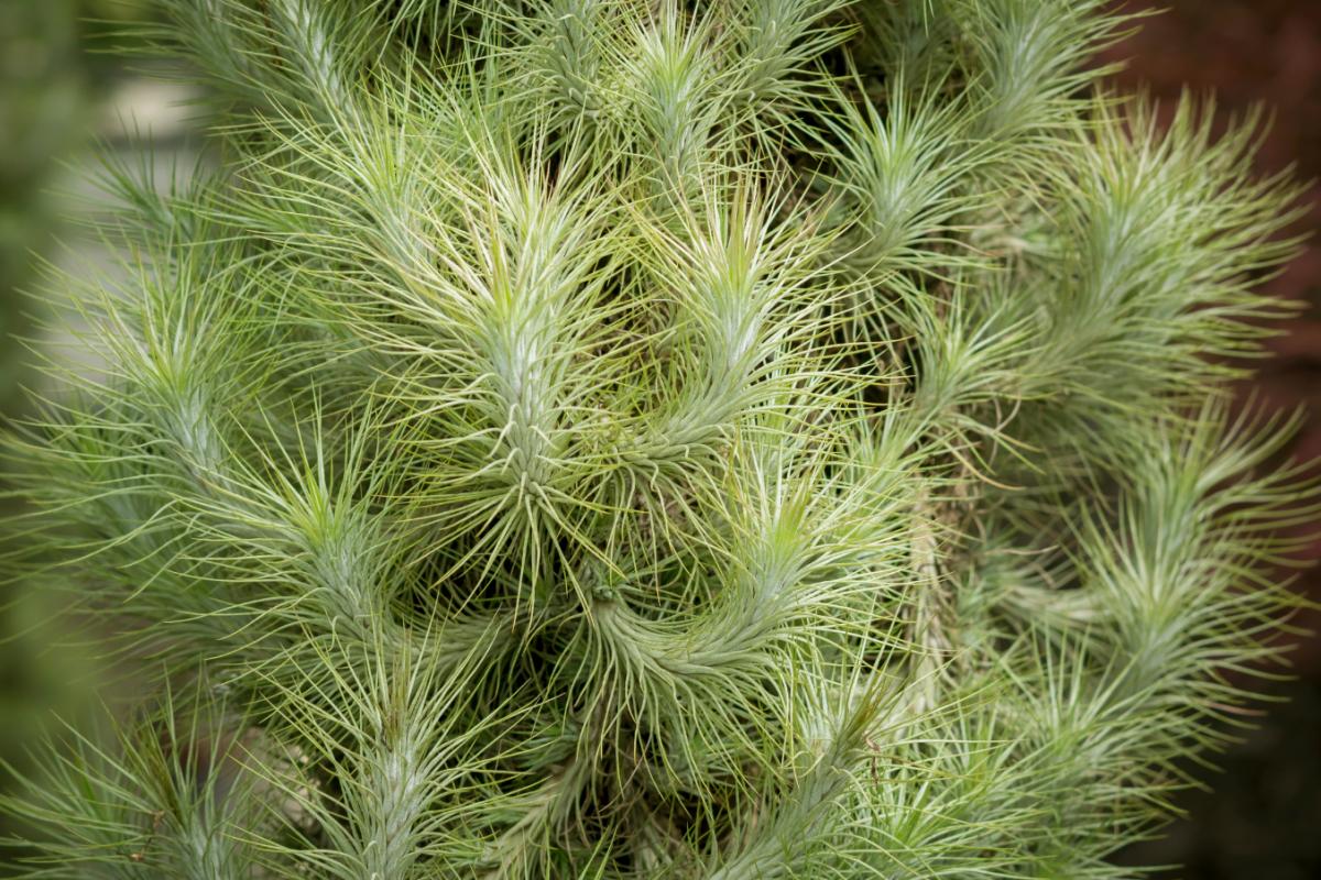 A photo of a mature cluster of Tillandsia Funckiana