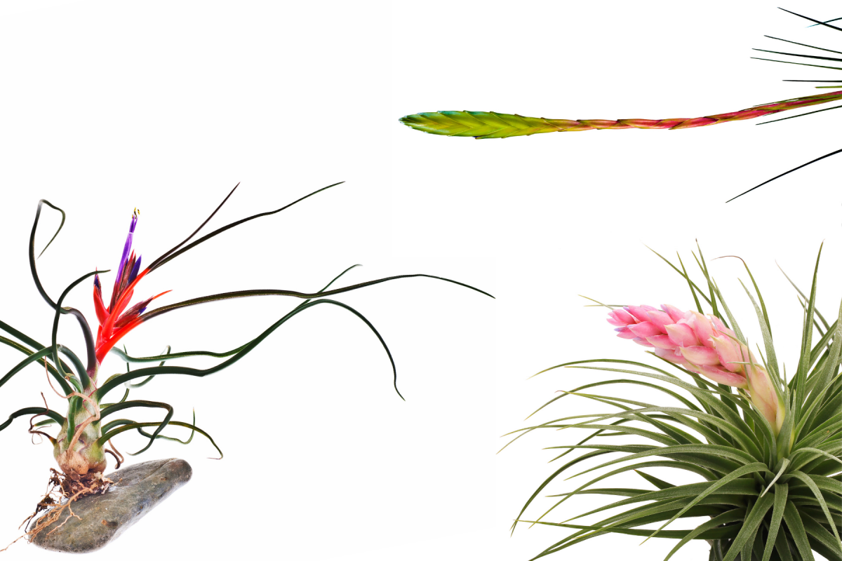 A photo of Tillandisa Bulbosa, Tillandsia Fasciculata, and Tillandsa Houston in bloom