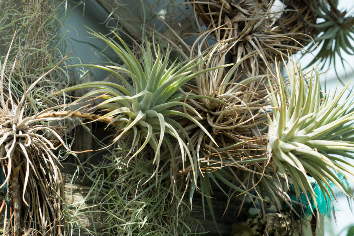 a photo of faded air plants with thriving pups