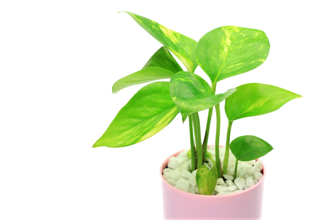 A photo of a Pothos plant in a pink pot