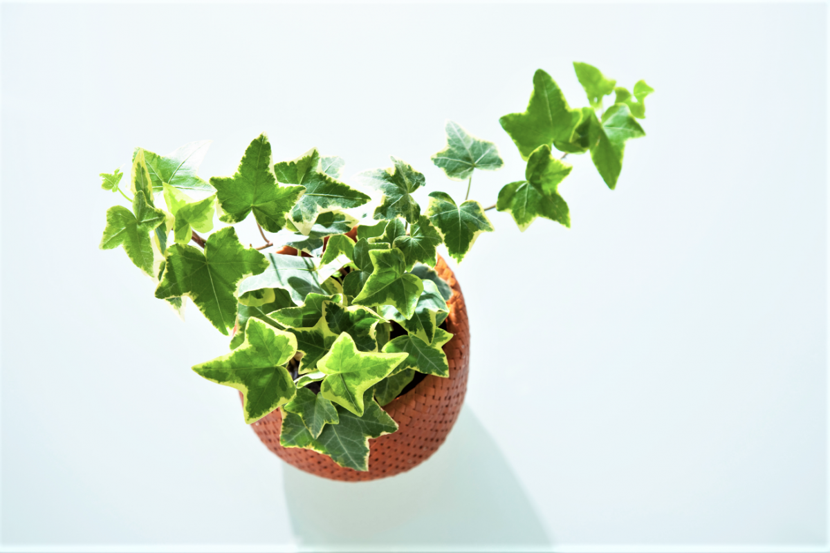 A photo of an Ivy house plant