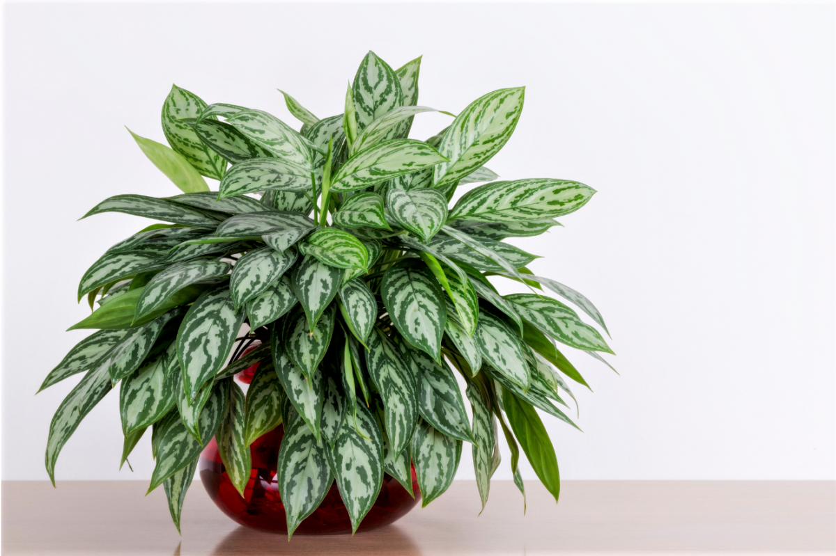 A photo of a large Chinese Evergreen plant
