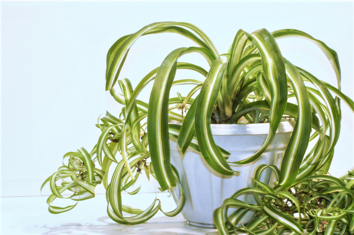 A photo of a Spider Plant
