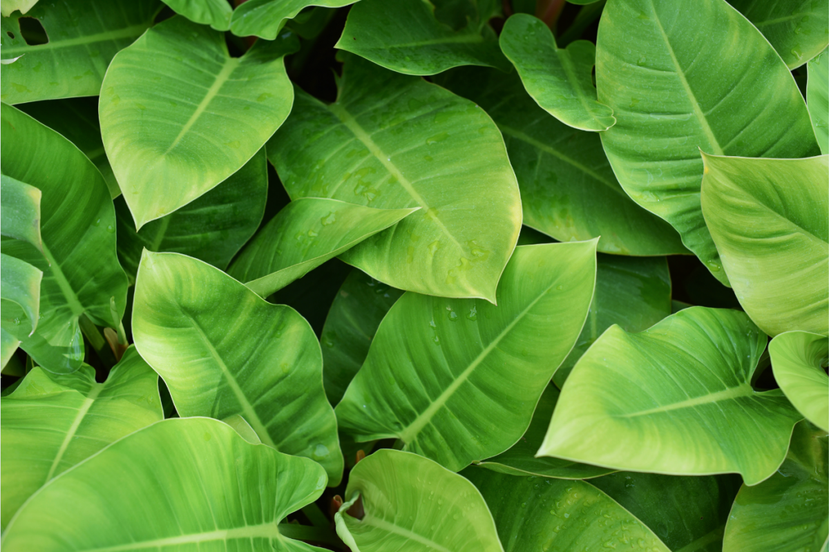A photo of Philodendron house plants