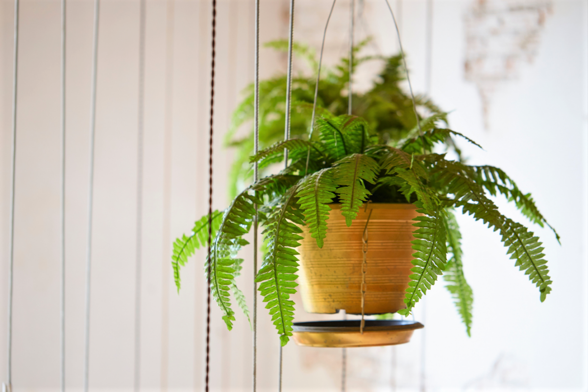 A photo of a Fern plant in a hanging basket