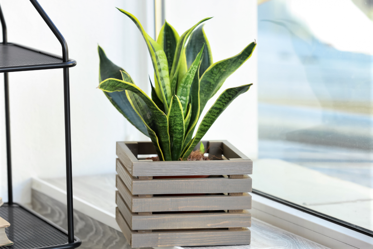a photo of a Snake Plant in a wodden basket