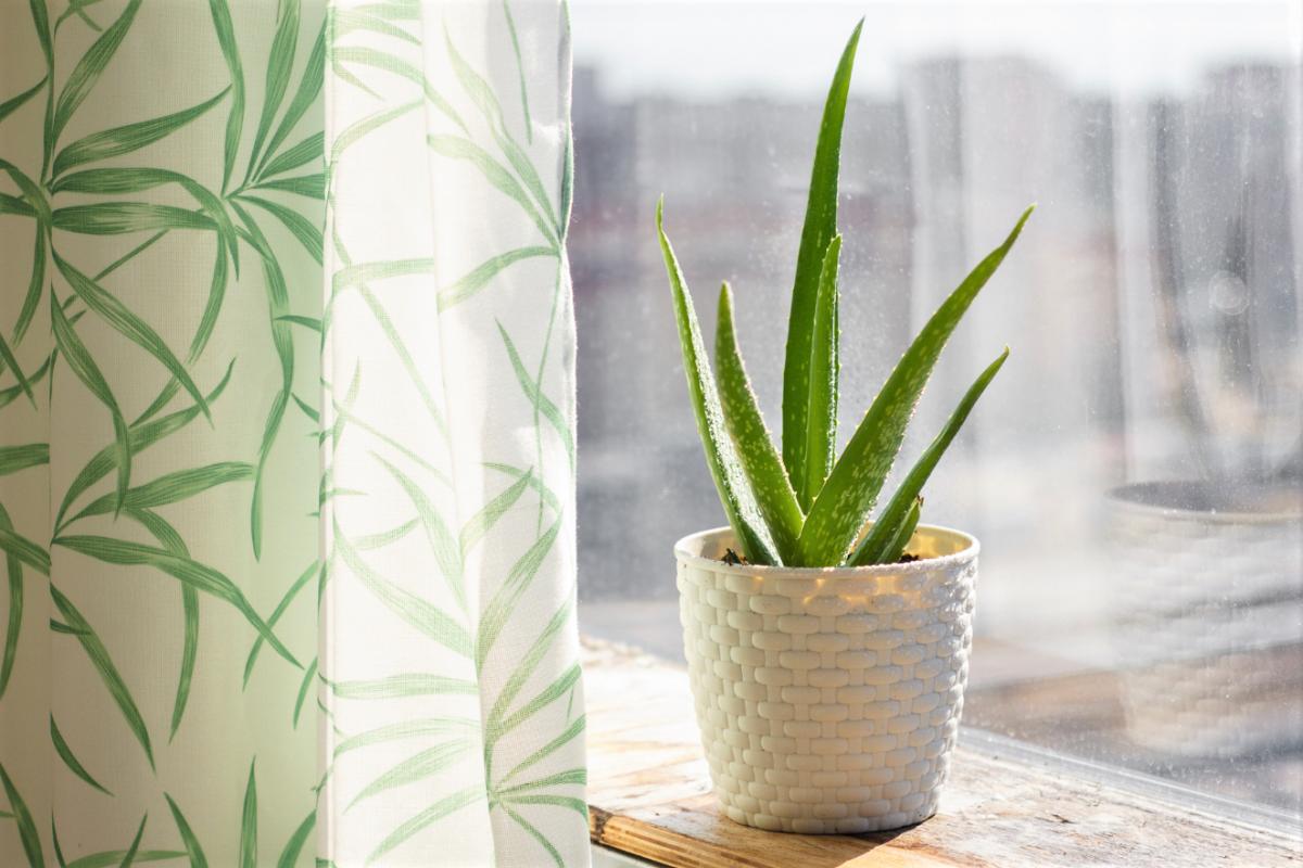 A photo of an Aloe Vera plant in a sunny windowsill