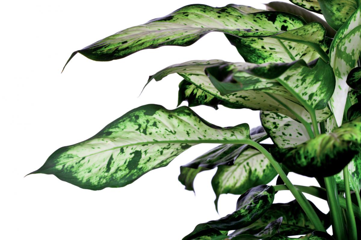 A close-up photo of Dieffenbachia leaves