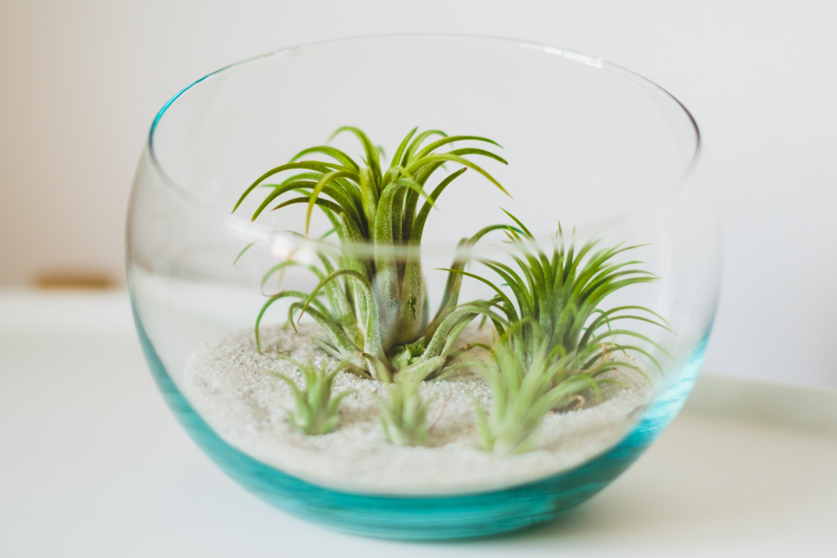 A photo of young air plants in a a glass terrarium
