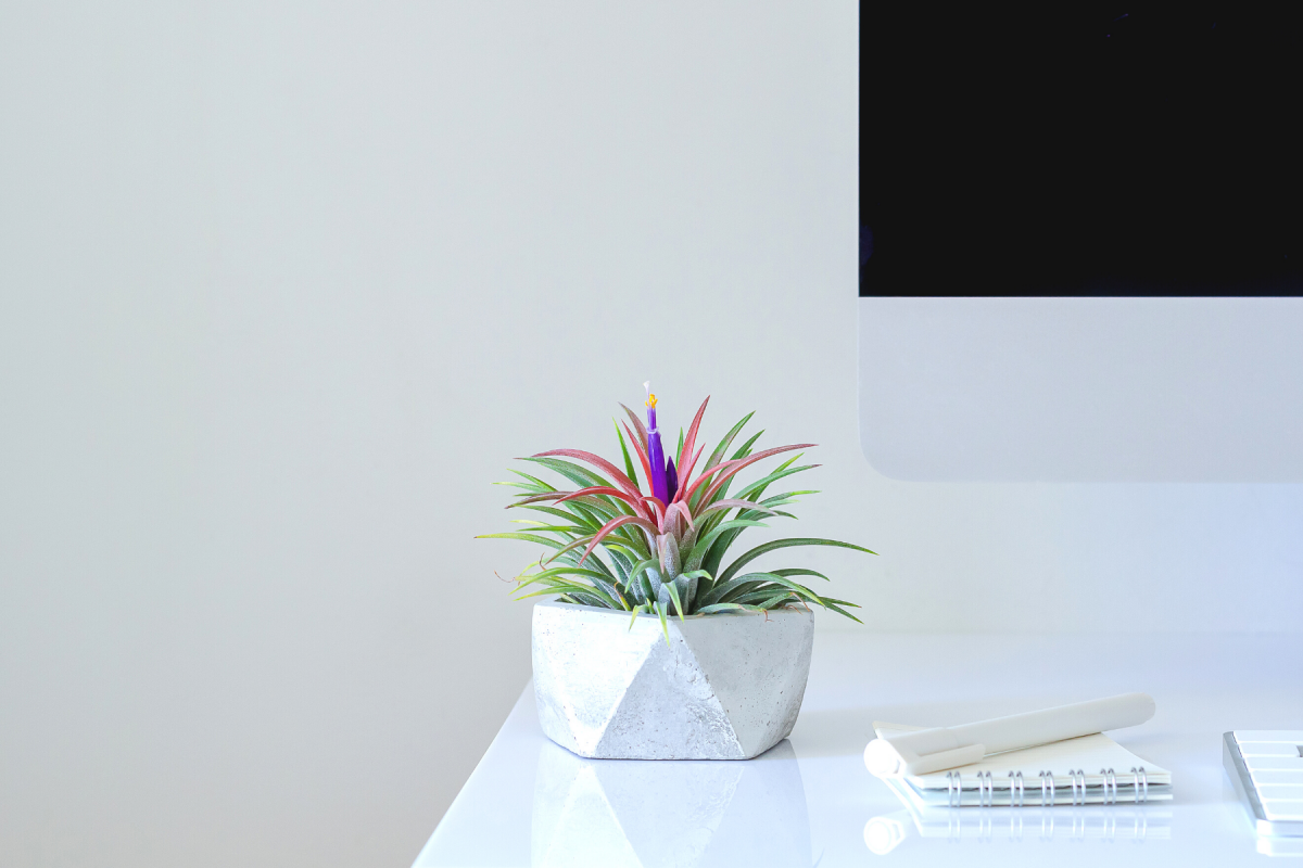 A photo of a blooming air plant on a work desk