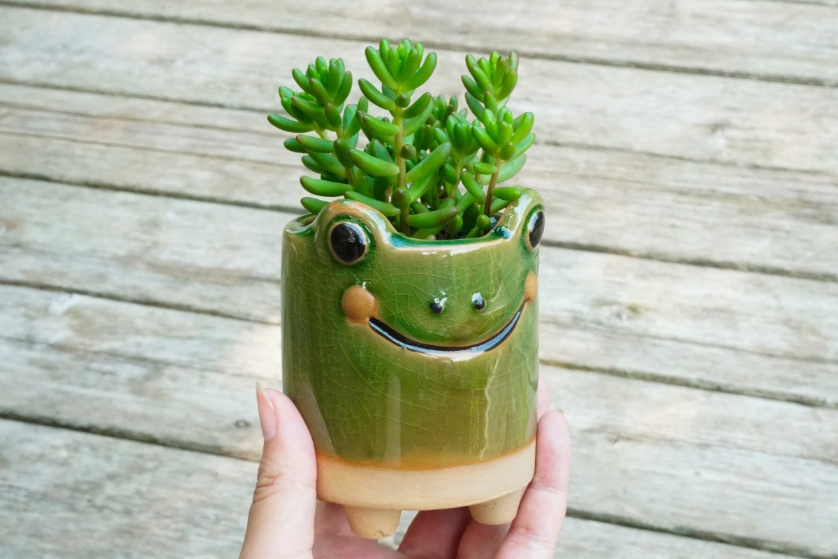 Sedum Jelly Bean succulents potted in a cute frog pot