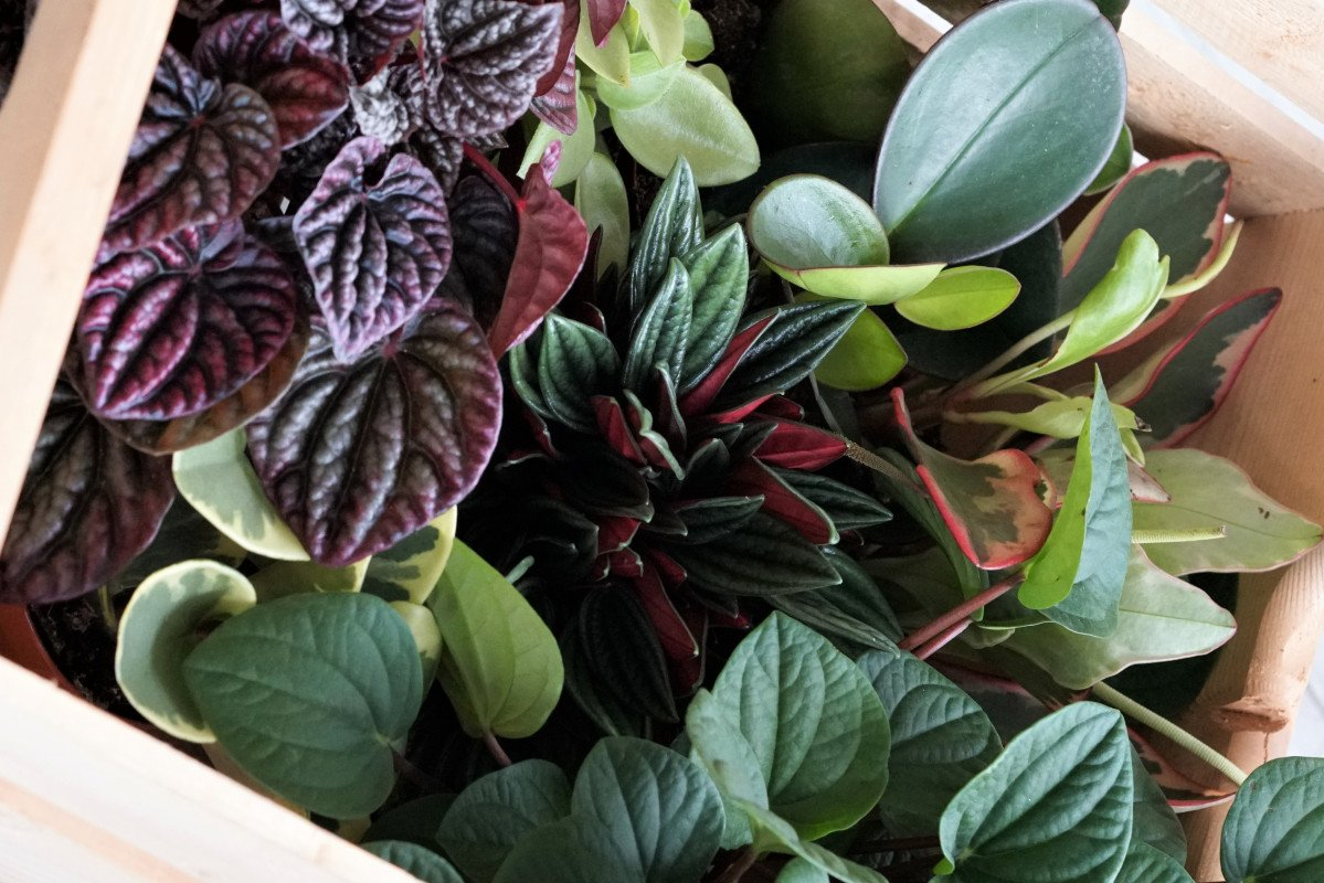 a photo os a variety of Peperomia plants in a wooden basket