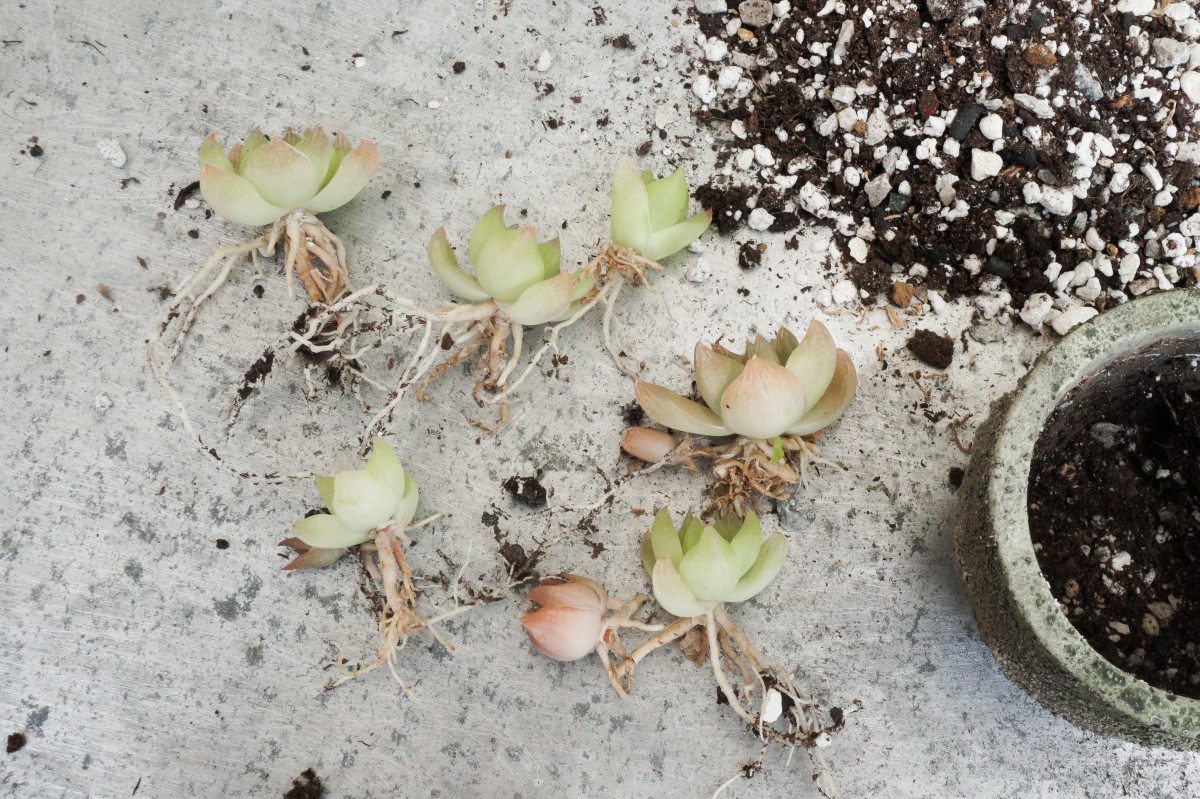 a photo os freshly separated Haworthia succulent pups