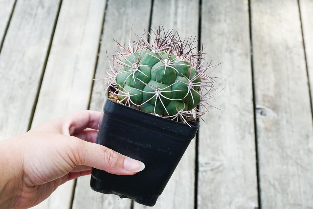 A photo of a Gymnocalycium cactus in a black plastic nursery pot