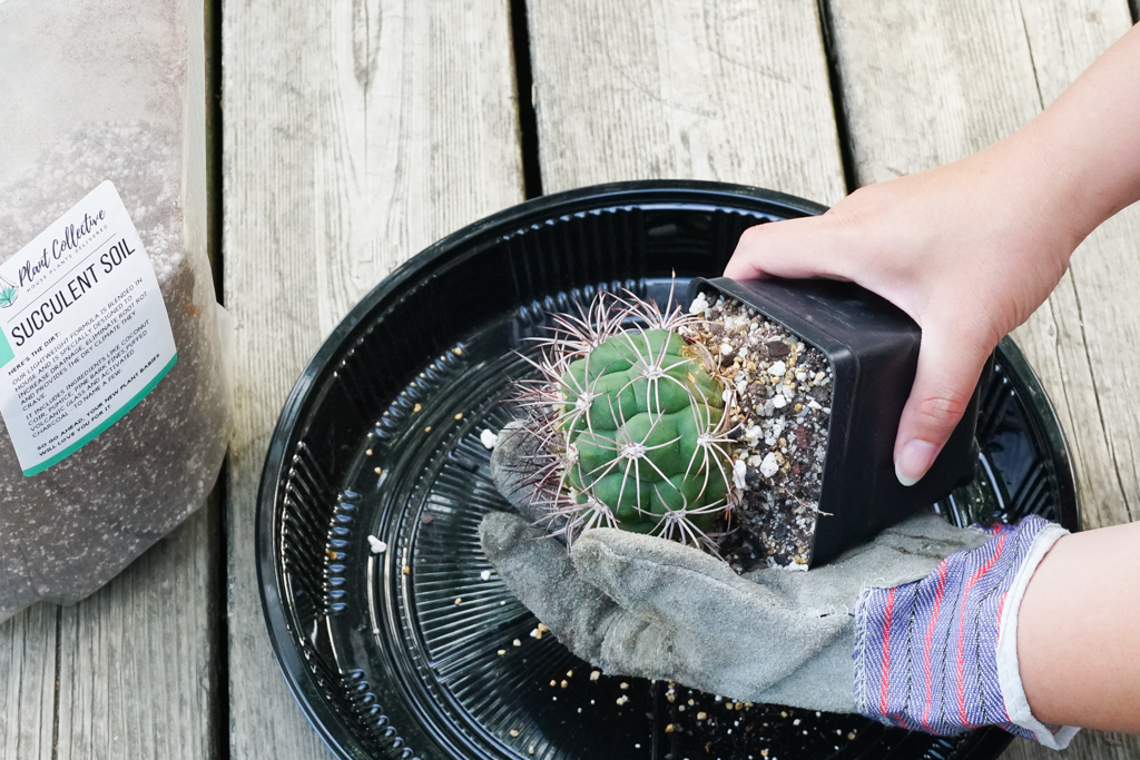 A photo of a Gymnocalycium cactus being remove from its plastic nursery pot with heavy duty gardening gloves
