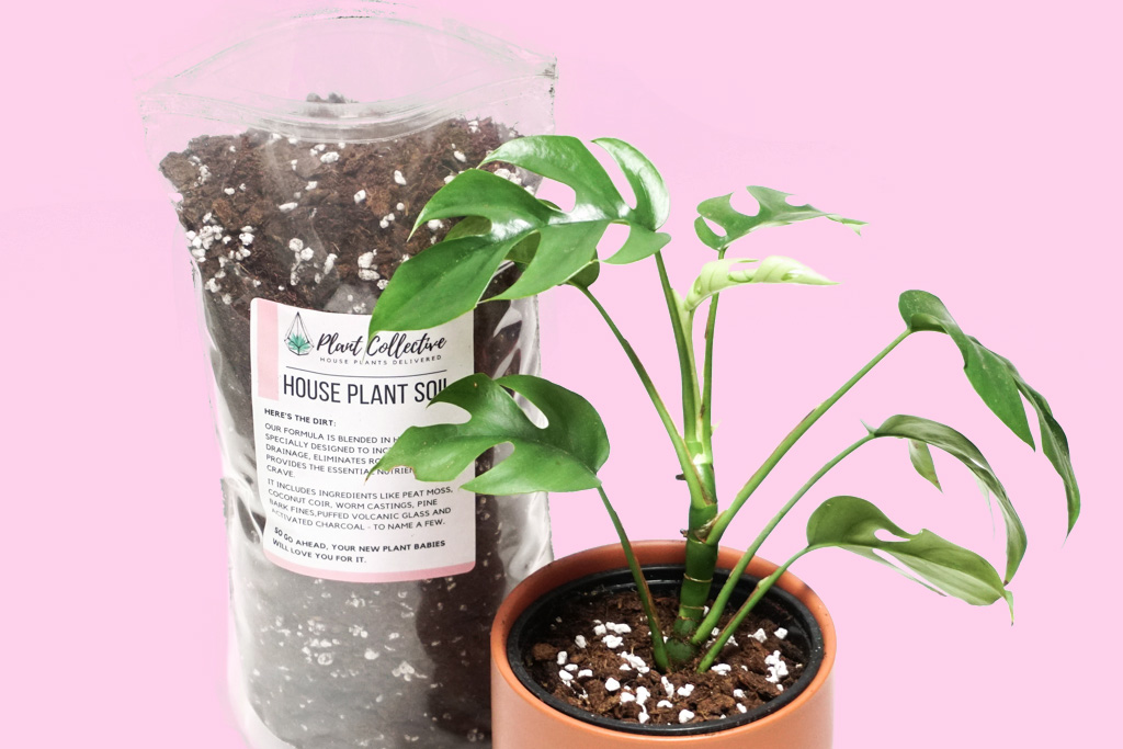 a photo of Plant Collective House Plant Soil next to a Monstera Ginny on a pink background