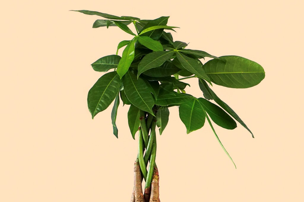 a photo of a braided Money Tree