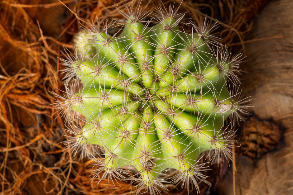a photo of a bare-root cactus