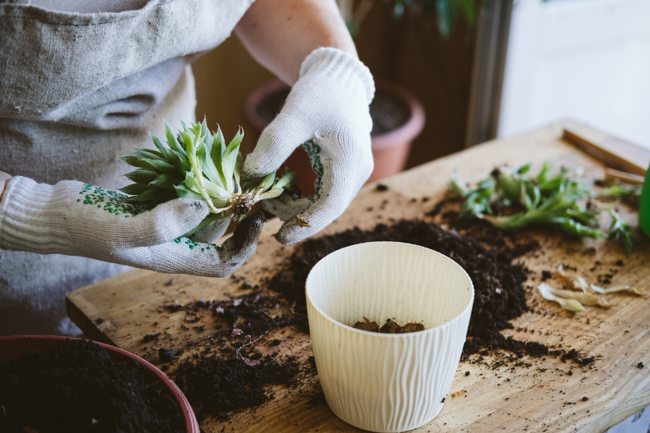 a photo of a person repotting a healed haworthia