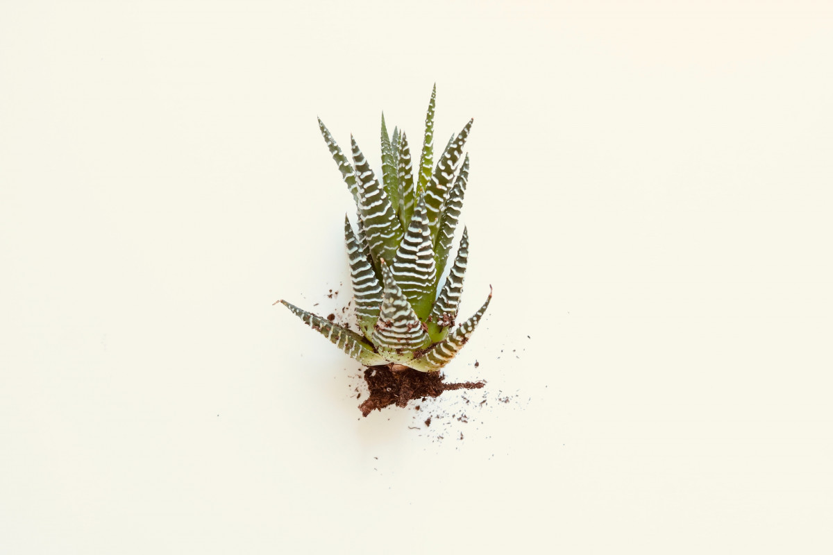 a photo of a haworthia with roots rotted off