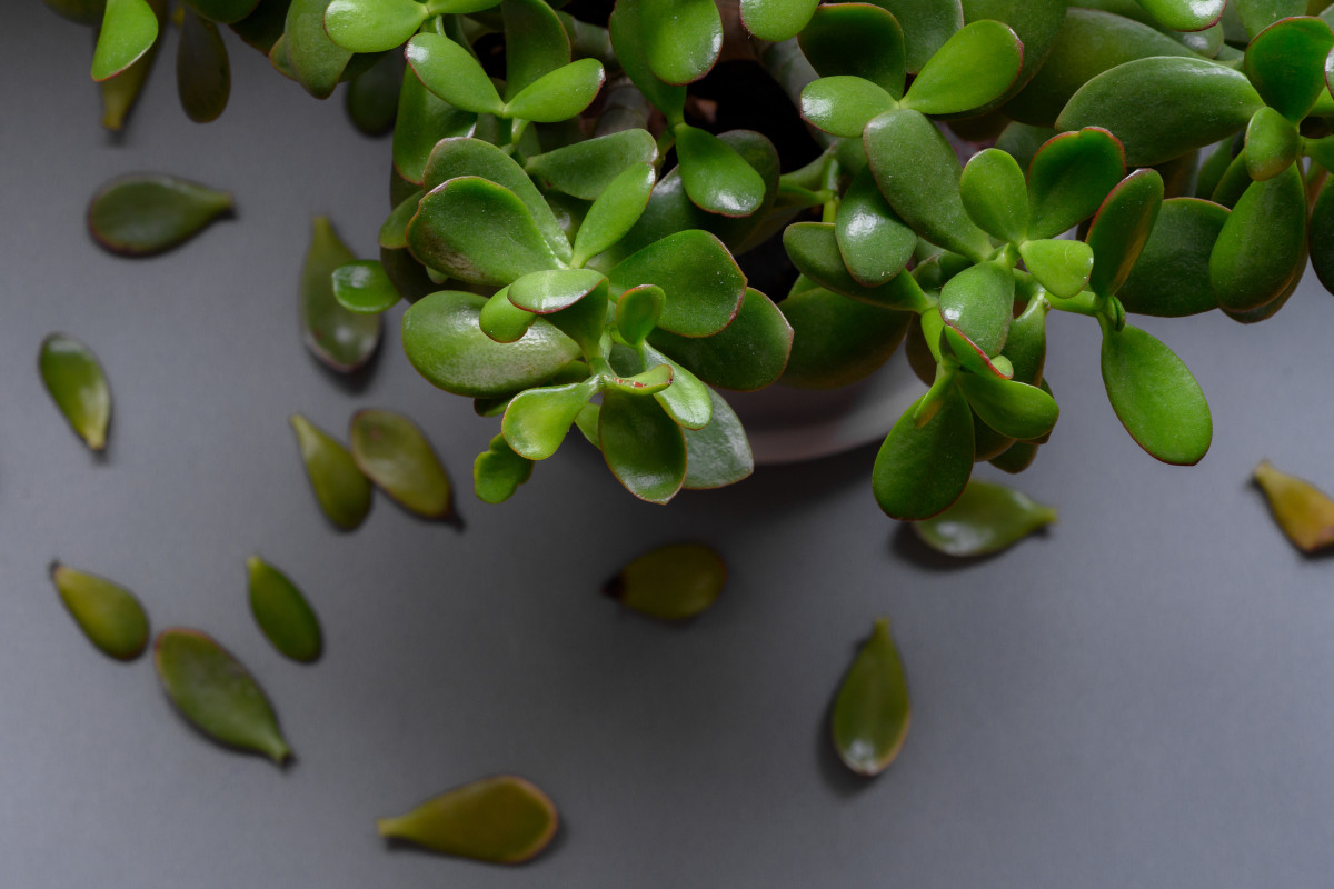 a photo of a Jade Plant with yellowing leaves