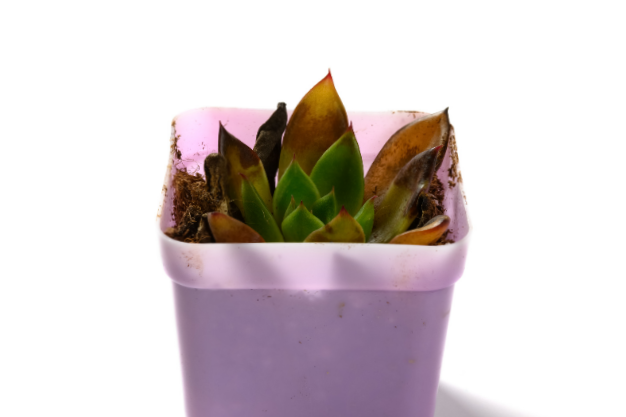 a photo of an Echeveria with yellowing leaves