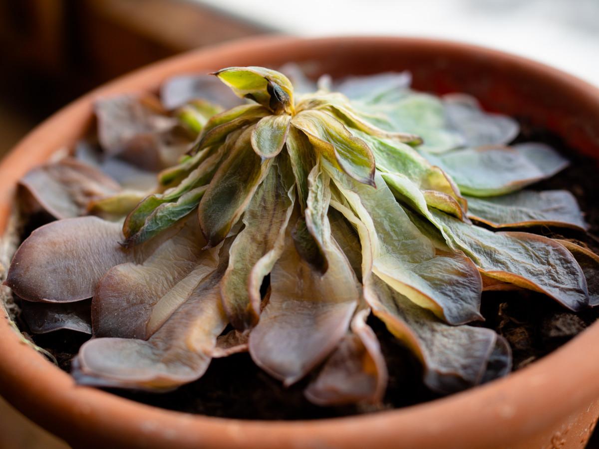a photo of a rotted Echeveria