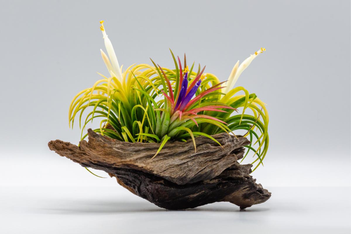 A photo os blooming Tillandsia Ionanathas
